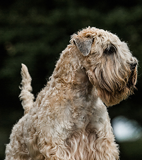 dog breeds S Soft Coated Wheaten Terrier Page 5 | Soft